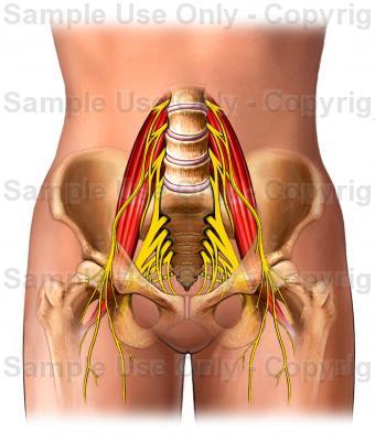 nervesupply-bones-pelvis