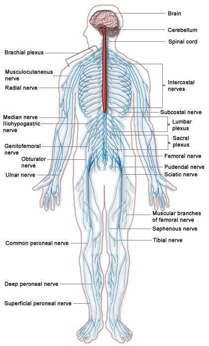 nervous_system_diagram-wikicommons